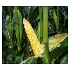 Kukurydza Mas 17.S 50 Tyś C1 KORIT Maisadour