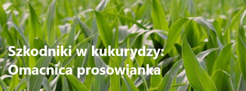 Szkodniki w kukurydzy: Omacnica prosowianka