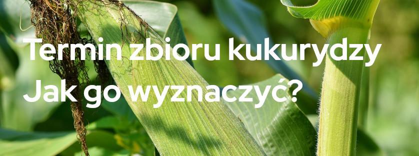 Termin zbioru kukurydzy - jak go wyznaczyć?