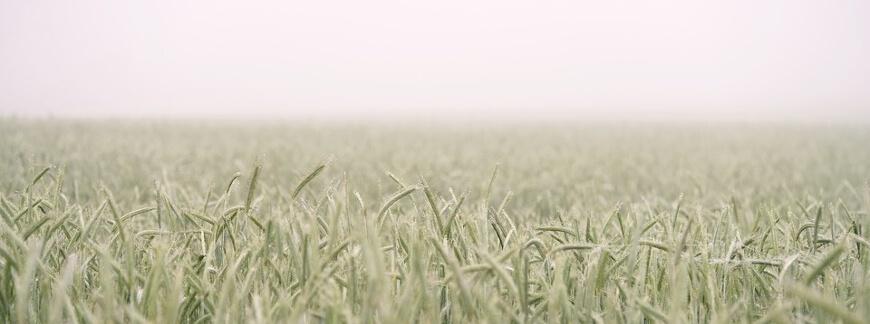 Uprawa pszenicy ozimej i jarej - krok po kroku