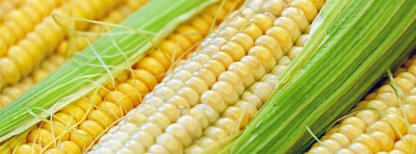 Choroby występujące w kukurydzy i ich zwalczanie