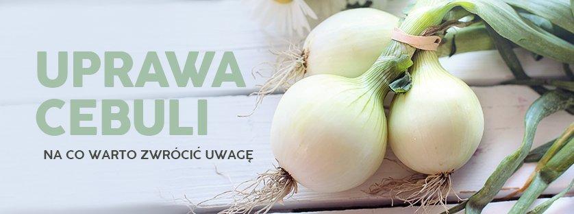 Uprawa cebuli - na co warto zwrócić uwagę?