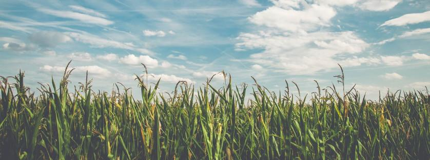Uprawa kukurydzy na ziarno. Jakie składniki warto stosować do jej nawożenia?