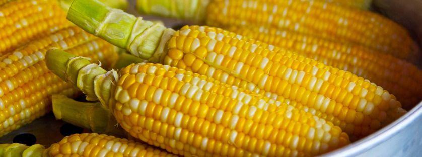 Szkodniki występujące w kukurydzy