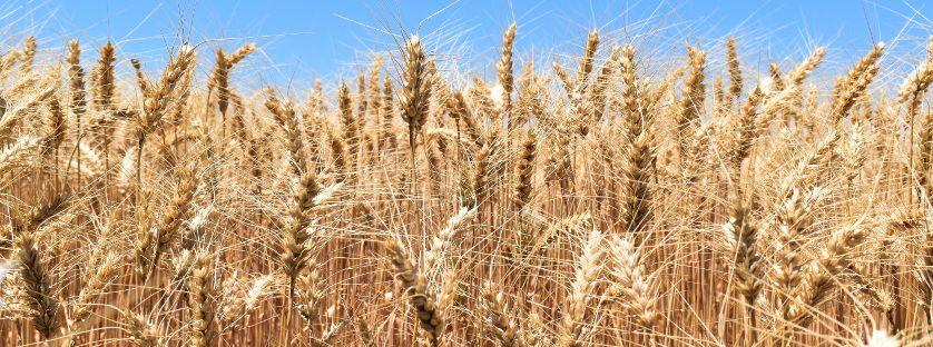 Jakie zagrożenia czekają nas w uprawie zbóż i jak nim przeciwdziałać?