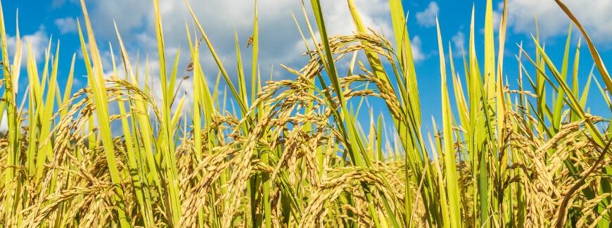 Zastosowanie zaprawy Scenic 080 FS Bayer w ochronie zbóż ozimych przed grzybami