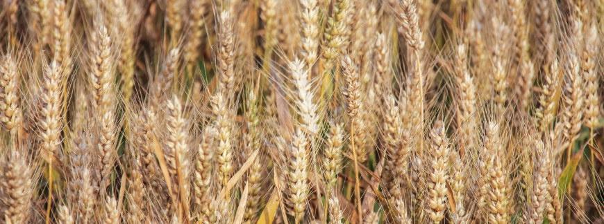 Regulatory wzrostu roślin i skracanie zbóż