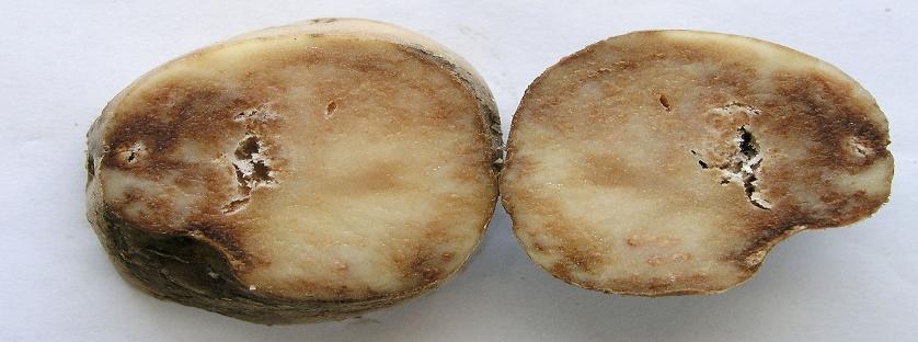 Choroby ziemniaka. Profilaktyka, ochrona i zwalczanie.