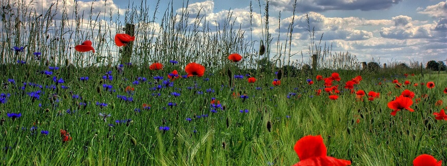 5 słów do zwalczania chwastów w zbożach ozimych jesienią