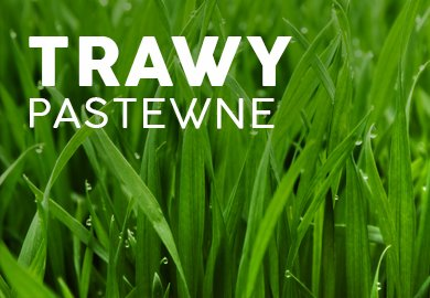 Trawy pastewne